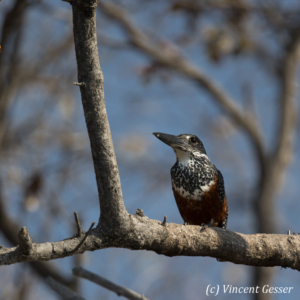 Giant Kingfisher (Megaceryle maxima) on a branch on shore of Lake Kariba, Zimbabwe, 1
