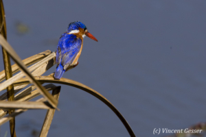 Malachite kingfisher on straw 2
