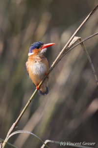 Malachite Kingfisher (Alcedo cristata) on a branch on shore of Lake Kariba, Zimbabwe, 4