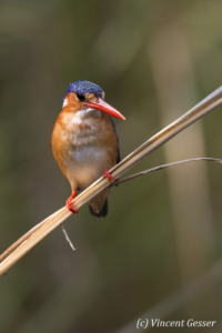 Malachite Kingfisher (Alcedo cristata) on a branch on shore of Lake Kariba, Zimbabwe, 8