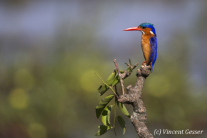 Malachite kingfisher ( Alcedo cristata) on a branch, Masai Mara National Reserve, Kenya, 3