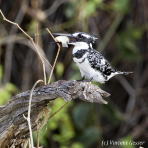 Pied kingfisher with fish 1