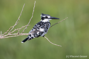 Pied kingfisher (Ceryle rudis) on branch, Amboseli National Park, Kenya, 4