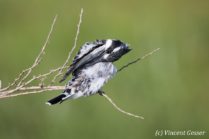 Pied kingfisher (Ceryle rudis) grooming feathers, Amboseli National Park, Kenya