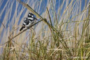 One Pied Kingfisher (Ceryle rudis) sitting on a blade of grass, Chobe National Park, Botswana
