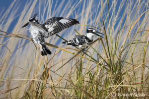 Two Pied Kingfishers (Ceryle rudis) sitting on a blade of grass, Chobe National Park, Botswana