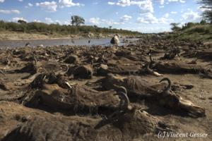 Wildebeests (Connochaetes) dead following a crossing  of the Mara river, Masai Mara National Reserve, Kenya