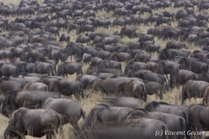 Wildebeests (Connochaetes) in movement, gathering before a crossing  of the Mara river, Masai Mara National Reserve, Kenya