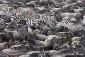 Wildebeests (Connochaetes) and Burchell's Zebra (Equus quagga burchellii) in movement, gathering before a crossing  of the Mara river, Masai Mara National Reserve, Kenya