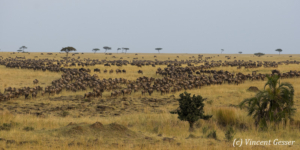 Masai Mara National Reserve plains full of Wildebeests (Connochaetes) during their migration, Kenya