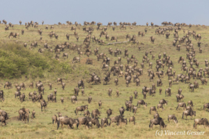 Wildebeests (Connochaetes) grazing on the plains of the  Masai Mara National Reserve, Kenya