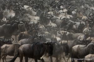 Wildebeests (Connochaetes) walking in group,  Masai Mara National Reserve, Kenya