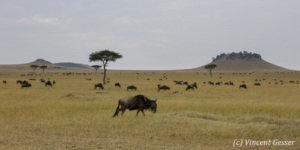 Wildebeests (Connochaetes) migrating over the plains of the Masai Mara National Reserve, Kenya