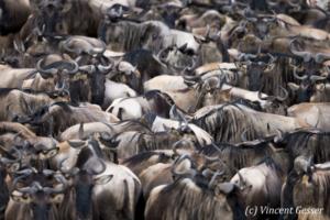 Wildebeests (Connochaetes) waiting to cross the river, Masai Mara National Reserve, Kenya
