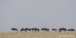 Wildebeests (Connochaetes) migrating as a caravane, Masai Mara National Reserve, Kenya