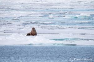 Solitary walrus (Odobenus rosmarus) on the icefloe, Svalbard, 1