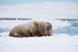 Solitary walrus (Odobenus rosmarus) on the icefloe, Svalbard, 3