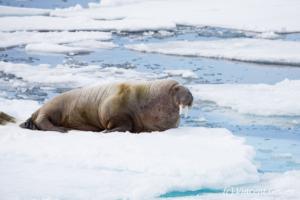 Solitary walrus (Odobenus rosmarus) on the icefloe, Svalbard, 4