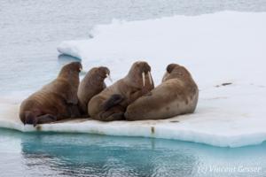 Family of walrus (Odobenus rosmarus) on the icefloe, Svalbard, 2