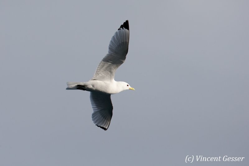 One Black-legged kittiwake (Rissa tridactyla) flying, Svalbard