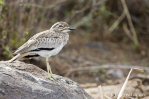 Stone Curlew (Burhinus oedicnemus) observing on a stone, Lake Baringo, Kenya