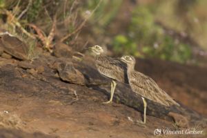 Two Stone Curlew (Burhinus oedicnemus) observing, Lake Baringo, Kenya