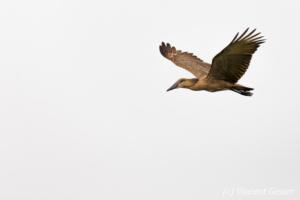 Hammerkop (Scopus umbretta) flying, Masai Mara National Reserve, Kenya