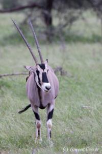 Oryx (Oryx beisa) in observation position, Samburu National Reserve, Kenya