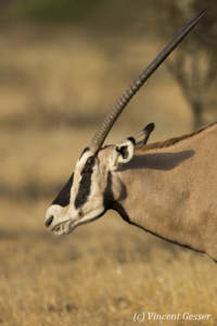 Oryx (Oryx beisa) portrait, Buffalo Springs National Reserve, Kenya