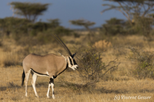 Oryx (Oryx beisa) walking, Buffalo Springs National Reserve, Kenya