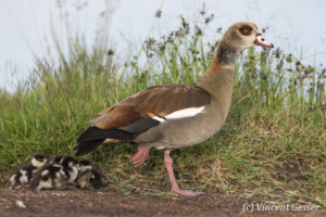 Egyptian Goose (Alopochen aegyptiaca) stading with chicks, Masai Mara National Reserve, Kenya
