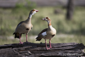 Two Egyptian Goose (Alopochen aegyptiaca) observing, Masai Mara National Reserve, Kenya