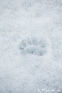 Polar bear (Ursus maritimus) paw prints on the ice, Svalbard, 1
