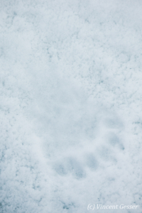 Polar bear (Ursus maritimus) paw prints on the ice, Svalbard, 2