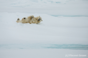 Polar bear (Ursus maritimus) rolling on the icefloe, Svalbard