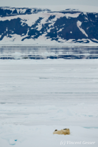 Polar bear (Ursus maritimus) laying on the icefloe, Svalbard, 4