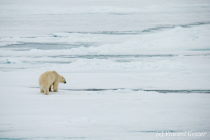 Polar bear (Ursus maritimus) observing, Svalbard, 1