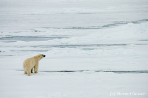 Polar bear (Ursus maritimus) observing, Svalbard, 4