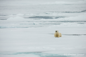 Polar bear (Ursus maritimus) laying on the icefloe, Svalbard