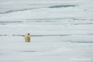 Polar bear (Ursus maritimus) walking towards you on the icefloe, Svalbard, 1