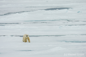 Polar bear (Ursus maritimus) walking towards you on the icefloe, Svalbard, 2