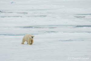 Polar bear (Ursus maritimus) walking towards you on the icefloe, Svalbard, 3