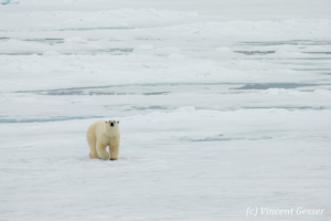 Polar bear (Ursus maritimus) walking towards you on the icefloe, Svalbard, 4