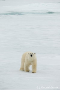 Polar bear (Ursus maritimus) walking towards you on the icefloe, Svalbard, 6