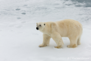 Polar bear (Ursus maritimus) standing close on the icefloe, Svalbard, 3