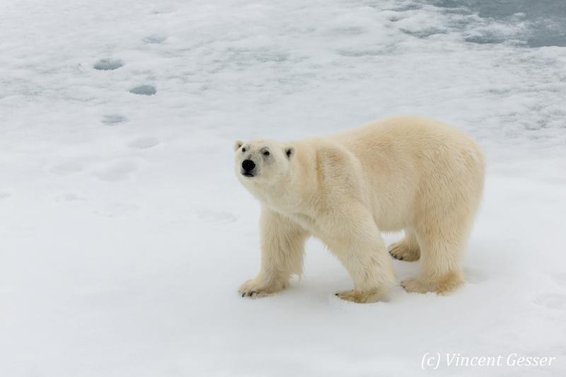 Polar bear (Ursus maritimus) standing close on the icefloe, Svalbard, 4