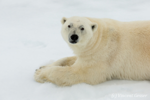 Polar bear (Ursus maritimus) laying close on the icefloe, Svalbard, 2