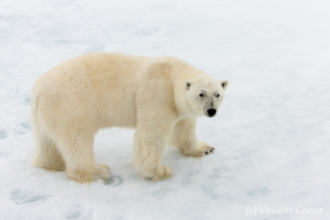 Polar bear (Ursus maritimus) standing close on the icefloe, Svalbard, 5