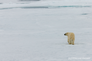 Polar bear (Ursus maritimus) walking away on the icefloe, Svalbard, 1