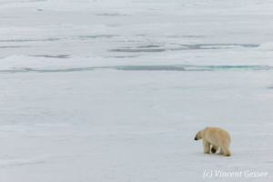 Polar bear (Ursus maritimus) walking away on the icefloe, Svalbard, 3